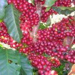 การปลูกกาแฟ 'Robusta' ในสวนยาง